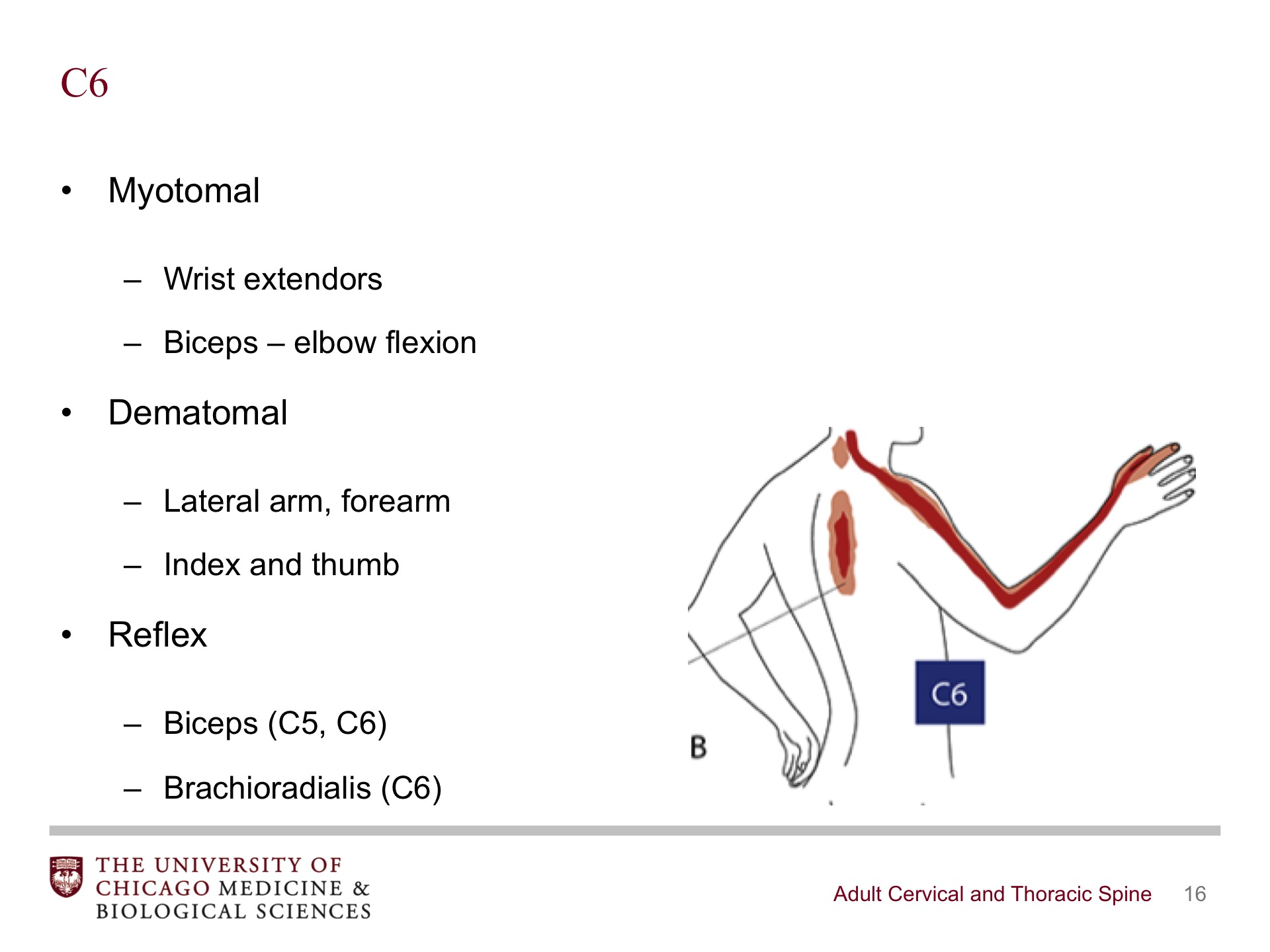 Adult Cervical And Thoracic Spine Broadcastmed
