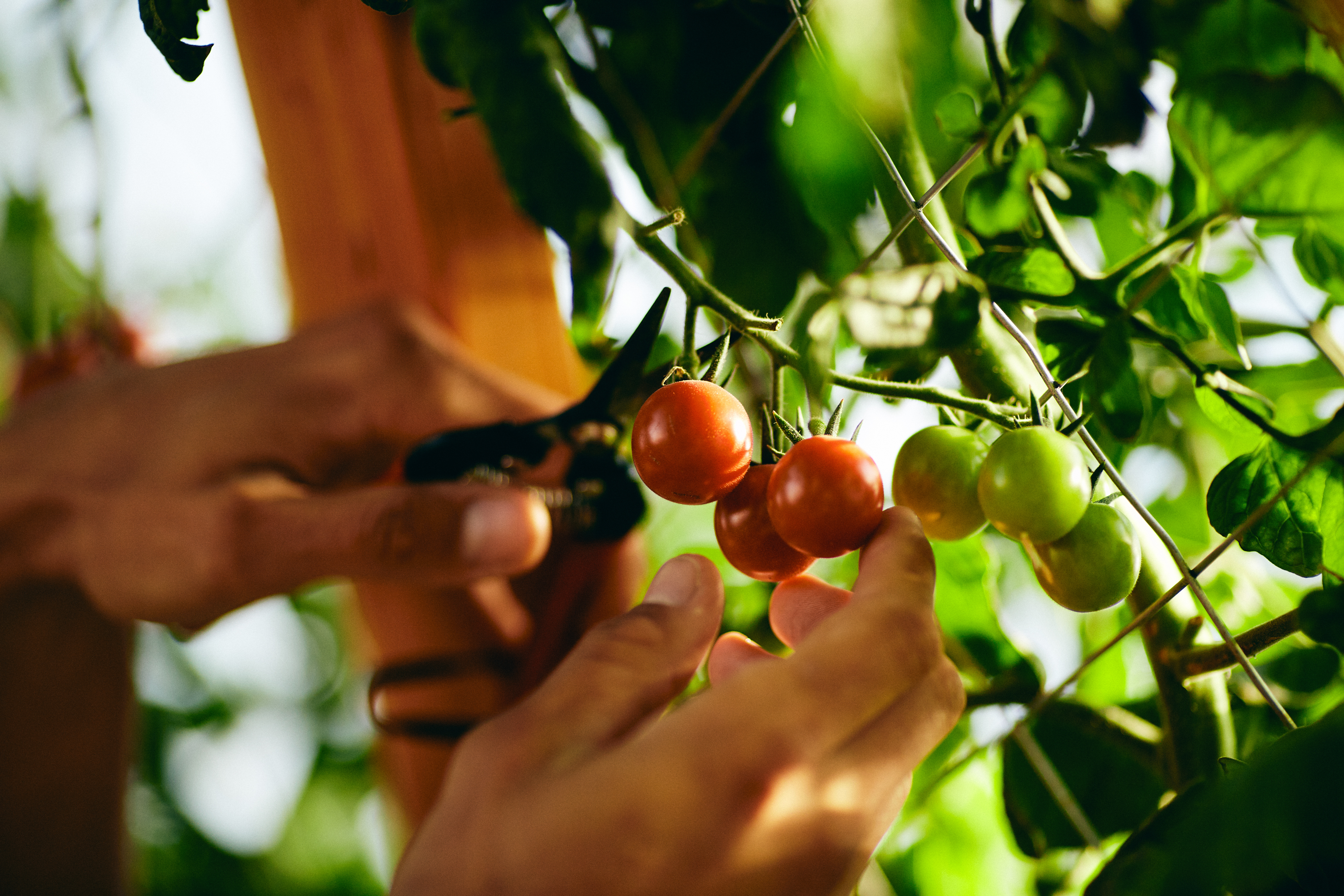 Cutting and collecting cherry tomatoes at The Brush Creek Greenhouse