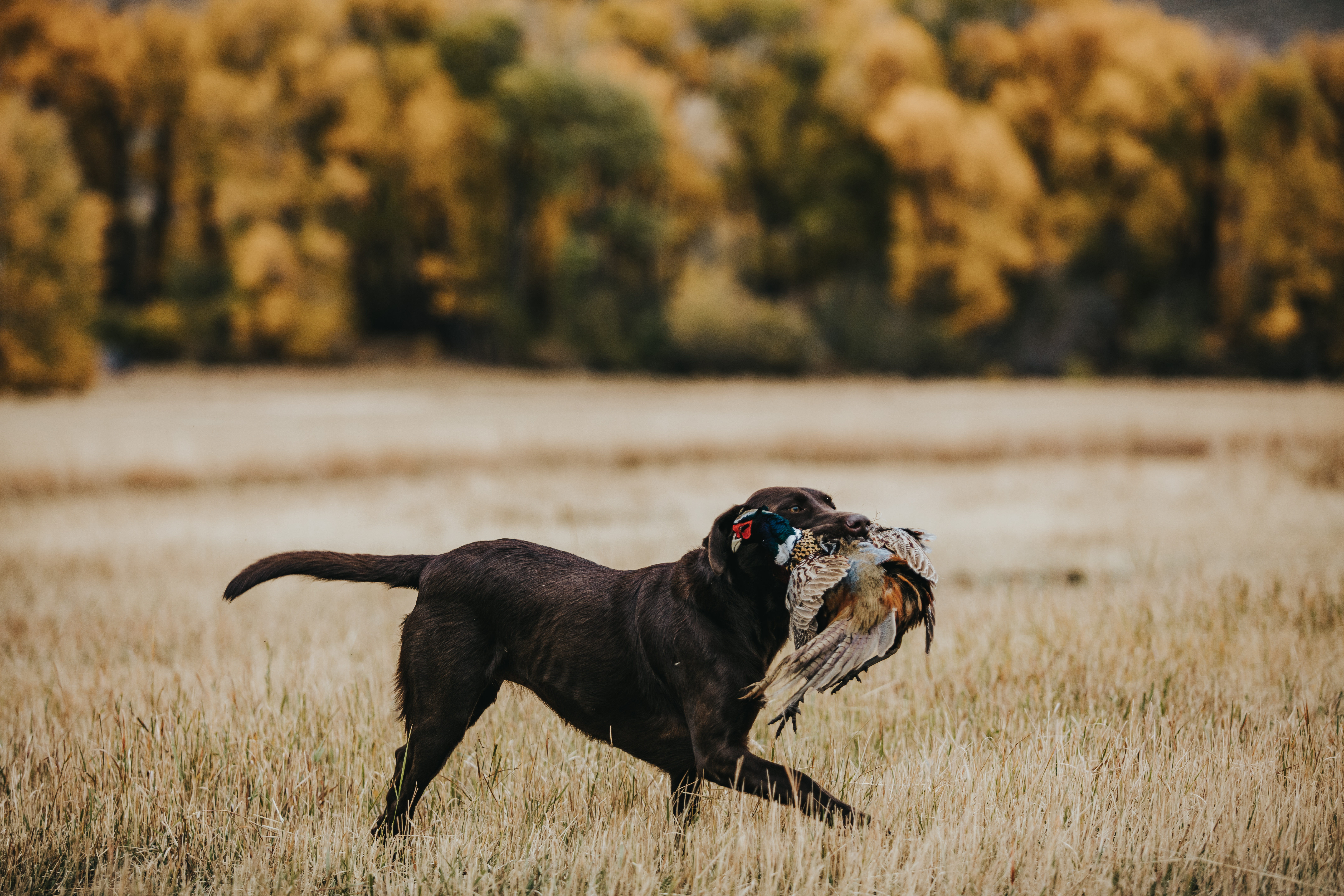 A trained dog that both flush out and retrieve the downed birds at French Creek Sportsmen's Club
