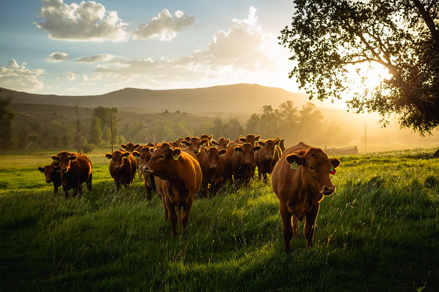 Wagyu beef cows grazing land