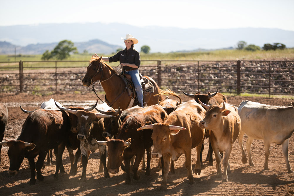 Woman wrangling cattle in pen