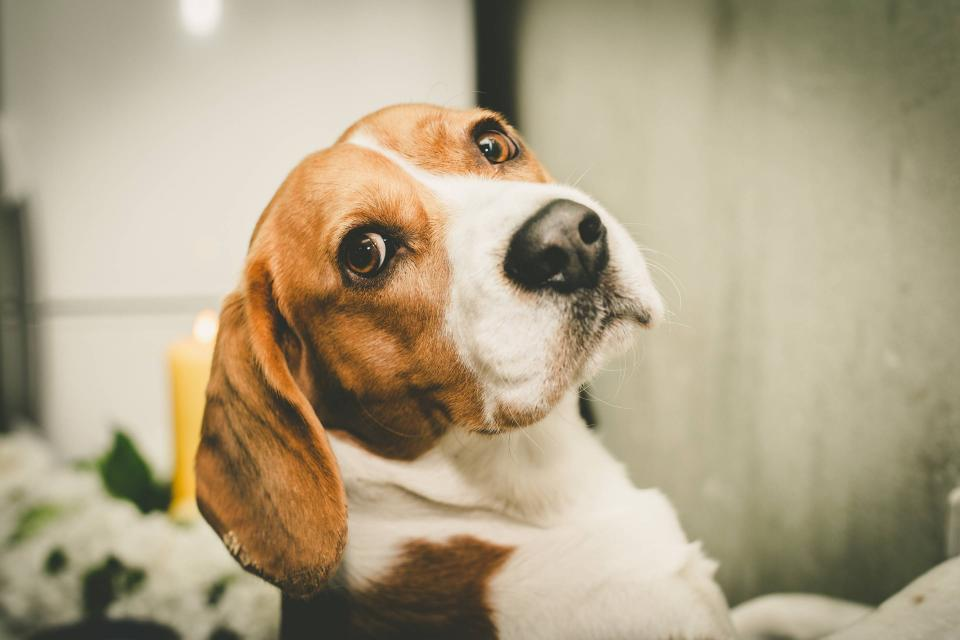 Humane Society Undercover Operation Leads DowDuPont to End Pesticide Testing on Beagles | BEAM