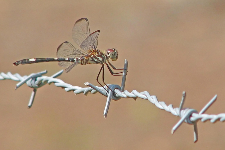Swift setwing on barbed wire. Close-Up Photos by Vicki DeLoach