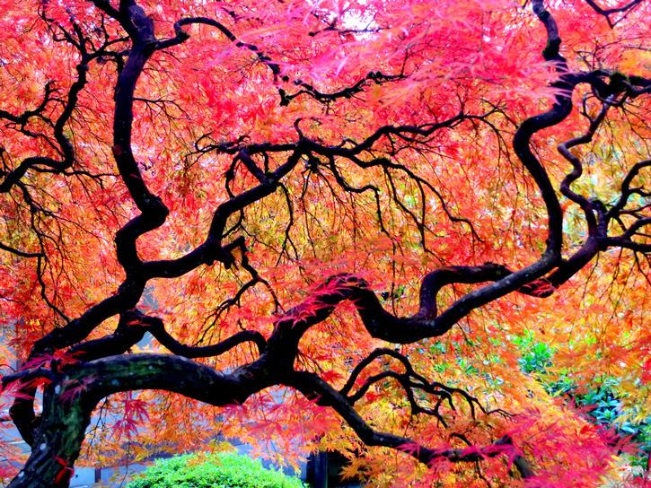 10 Beautiful Specimen Trees to Visit Now | BeautifulNow |Beautiful Japanese Trees