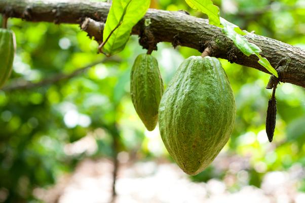 Cocoa leaves