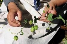 Brewing process, hops