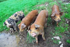 Belgian pork