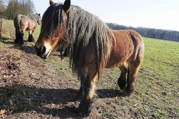 Westmalle, Horses in Field