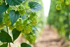 Hops, Belgian beer culture