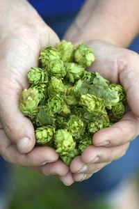 Belgian hops, used in Belgian beer