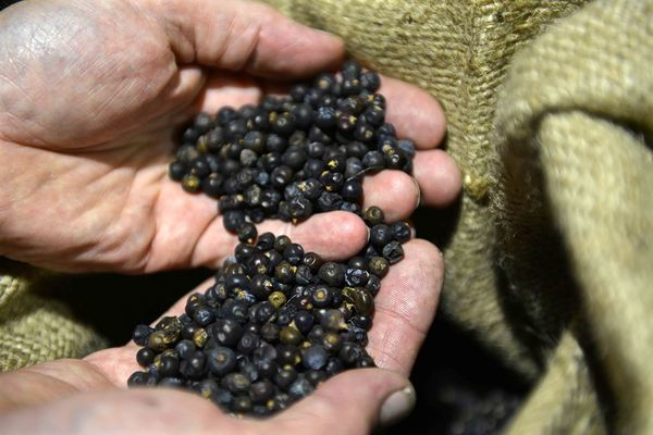 Juniper berries for Lindemans Gin