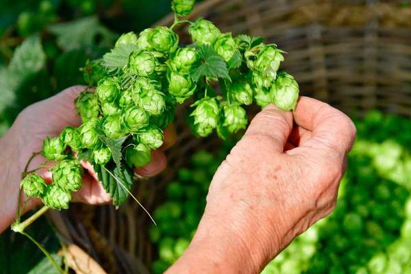 Hop harvest at Palm Belgian Craft Brewers