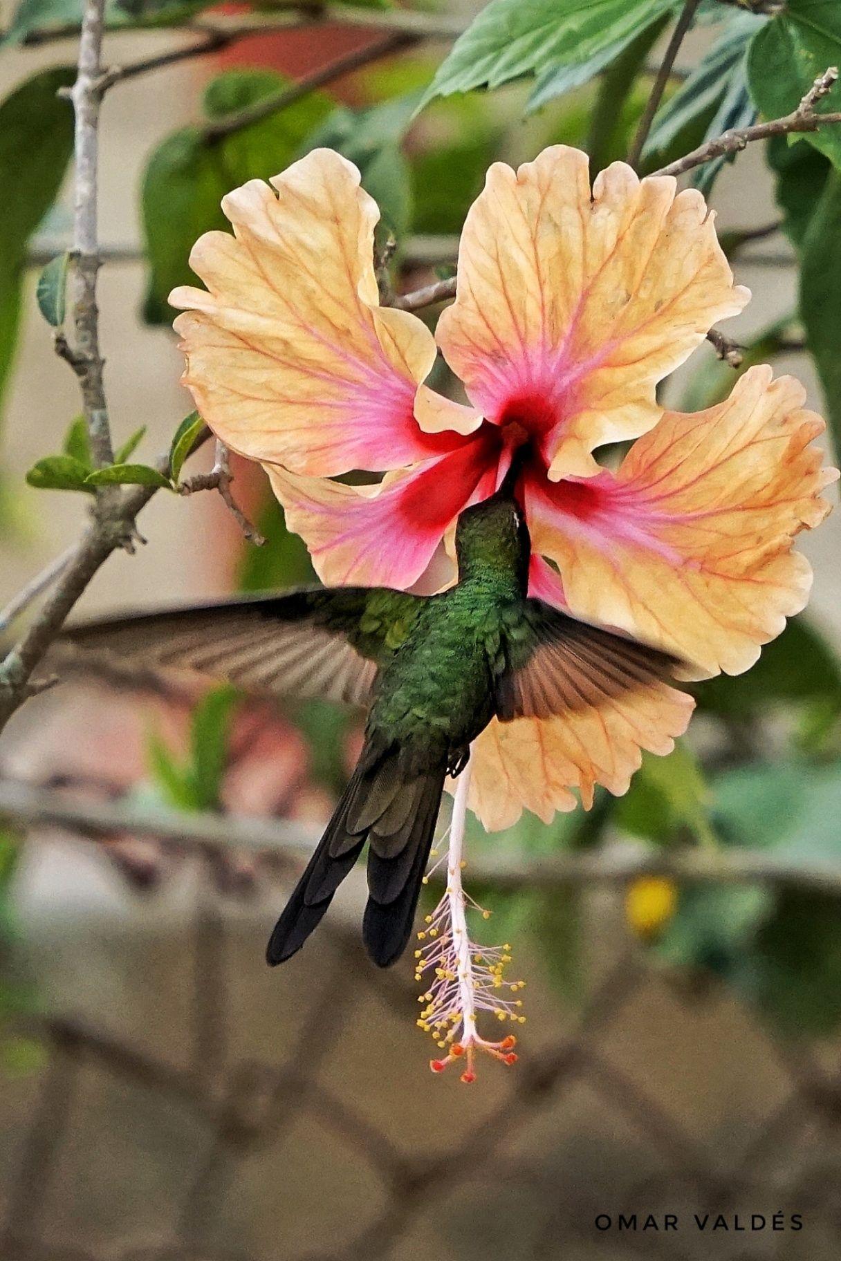 Obra: Zunzun flying. Endemic bird