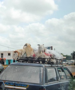 Counting Sheep in Senegal
