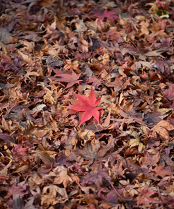 Chasing after Autumn Leaves: Momijigari and Discovering the Japanese Appreciation for Nature
