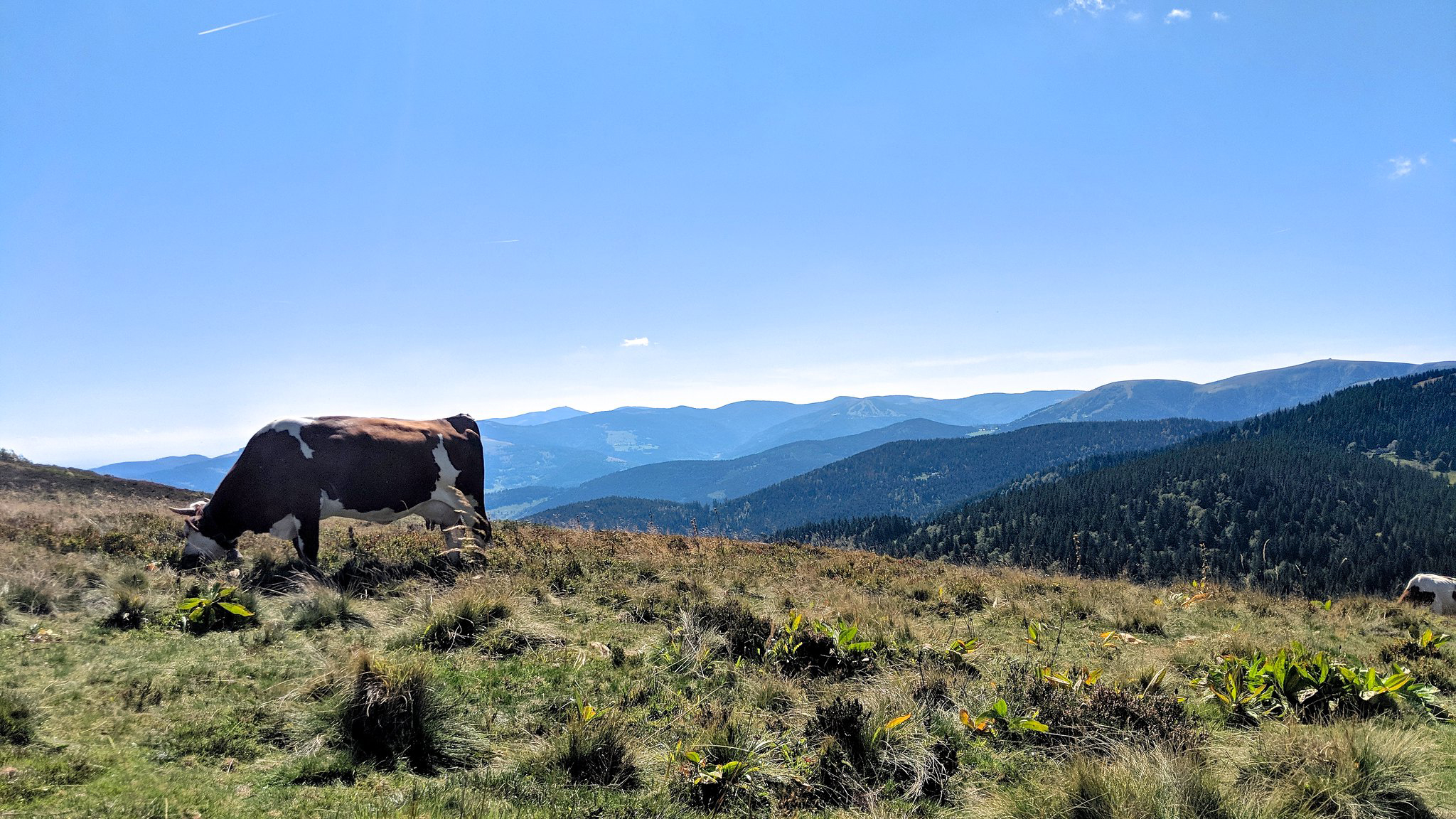Cow grazing in the Vosges Mountains, which face onto the Swiss Alps