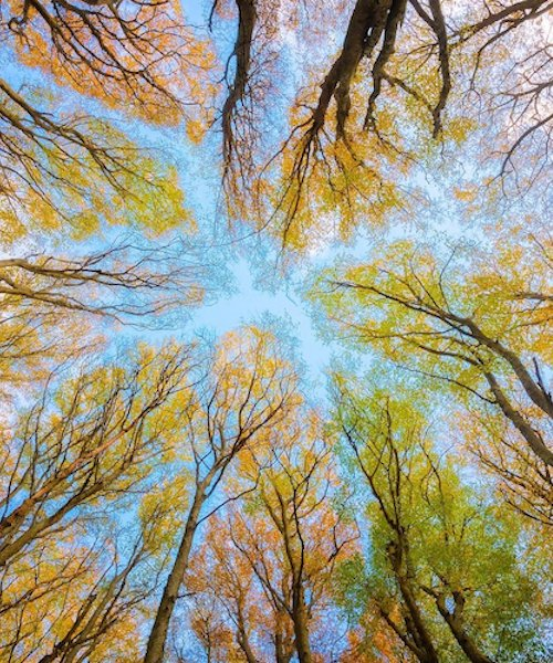 Looking up at tree canopy in a forest