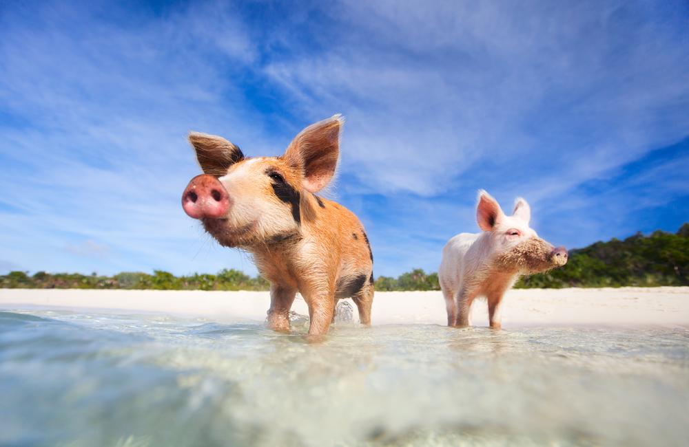 Pig Beach Piglets