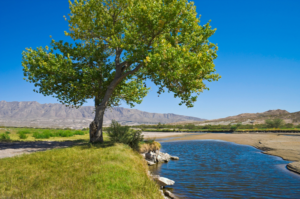 Rio Grande and cottonwood tree, El Paso, TX