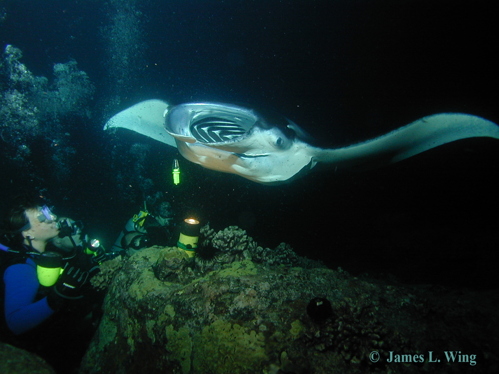 Product Evening Manta Ray Snorkel or Dive