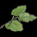Estratto di foglie di Betulla