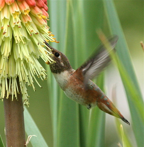 new style 94771 55c9a A Photo Study of Non-Adult Rufous Hummingbirds