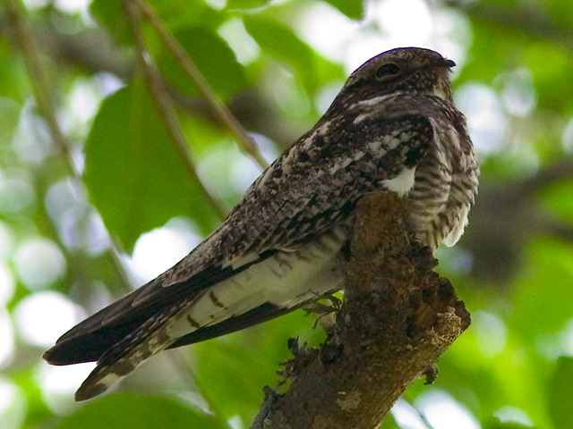 Nightjars and Allies