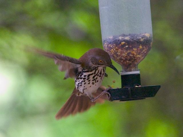 Mockingbirds and Thrashers