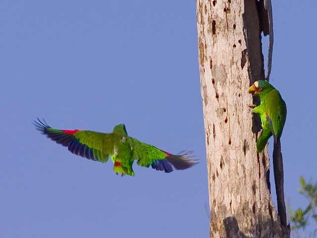 New World and African Parrots