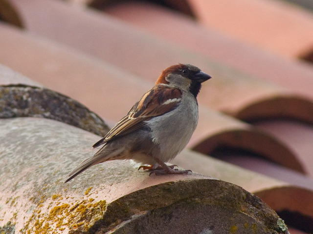 Old World Sparrows