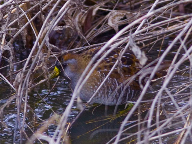 Rails, Gallinules, and Coots