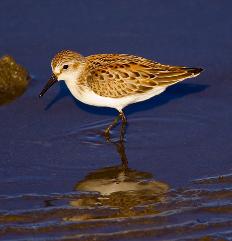Sandpipers and Allies