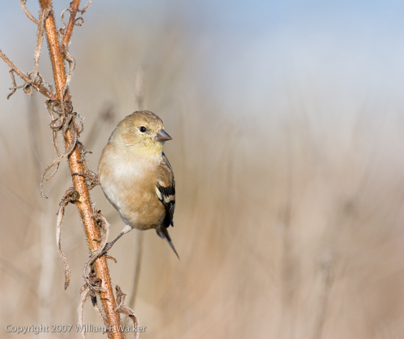Finches, Euphonias, and Allies