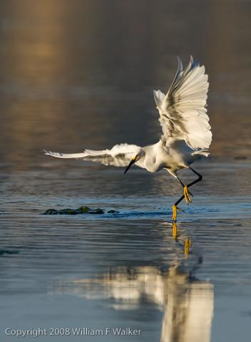 Herons, Egrets, and Bitterns