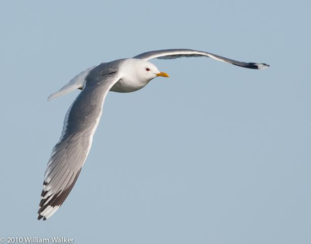 Mew Gull