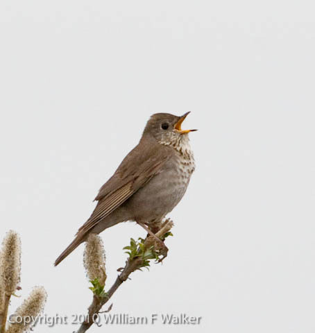 Thrushes and Allies