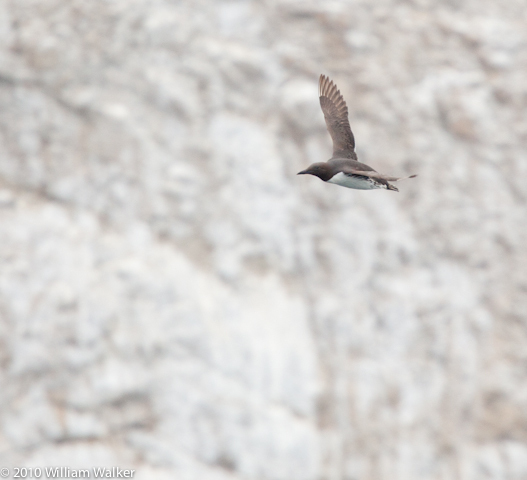 Common Murre
