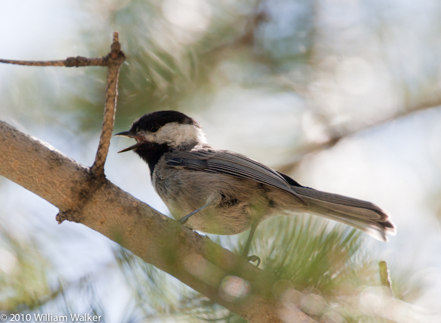 Tits, Chickadees, and Titmice