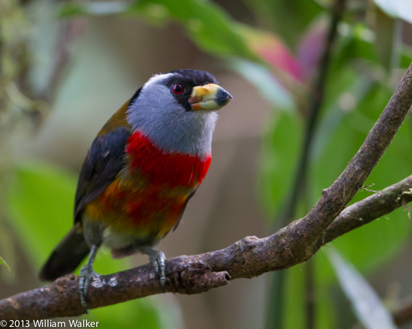 Toucan-Barbets
