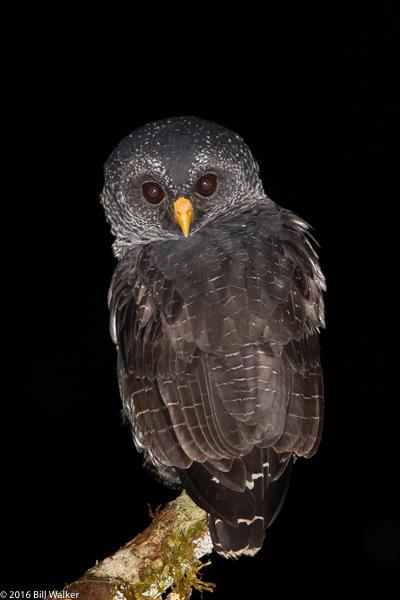 Black-banded Owl