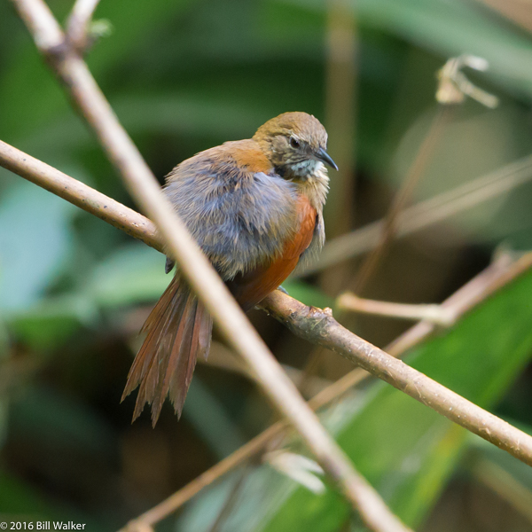 Stripe-breasted Spinetail