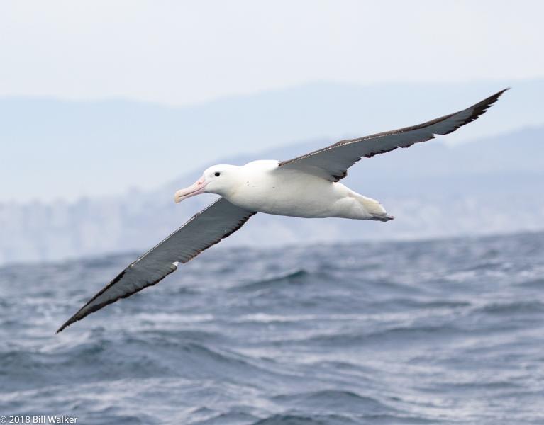 Royal Albatross (Northern)