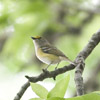 Vireos, Shrike-Babblers, and Erpornis