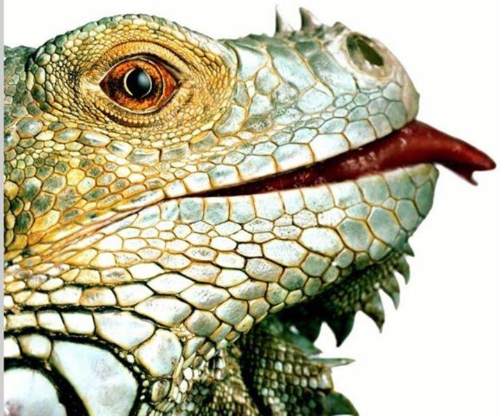 La Iguana Tour Dates