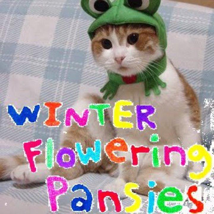 Winter Flowering Pansies Tour Dates