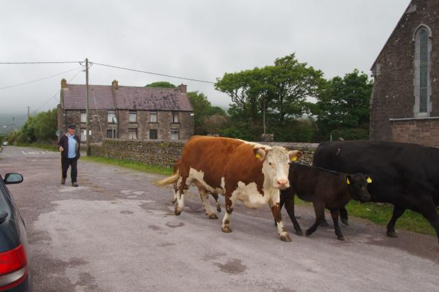 Cows moving fields in Ceann Trá (Venty) in the Kerry Gaeltacht.