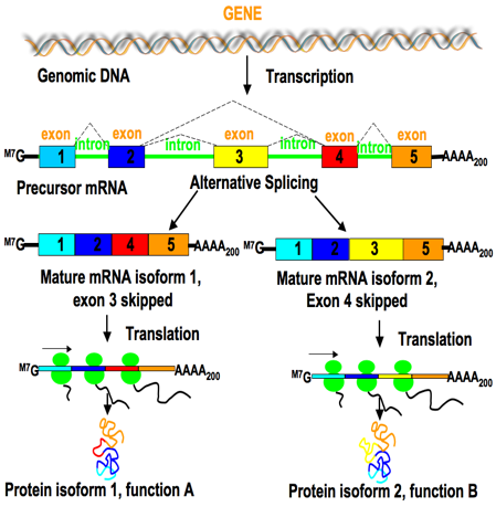 What is alternative splicing and why is it important bitesize bio alternative splicing generates transcriptome diversity and provides an opportunity for gene regulation alternative splicing can generate mrnas encoding ccuart Gallery