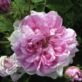 Rosadamascena3 big square