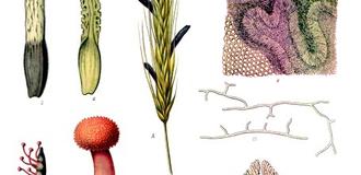 Claviceps purpurea ko%cc%88hler%e2%80%93s medizinal pflanzen 185上市