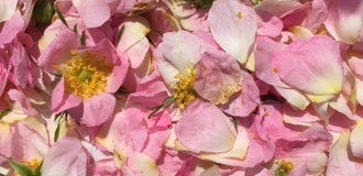 玫瑰花瓣上市